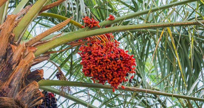 Datteln an einer Palme