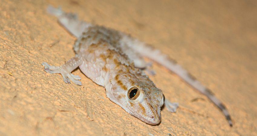 Gecko Marokko