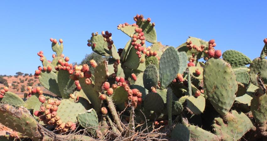 Kaktusfrüchte in Marokko
