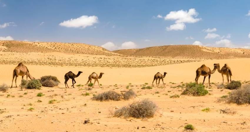 Kamele Dromedare Wüste
