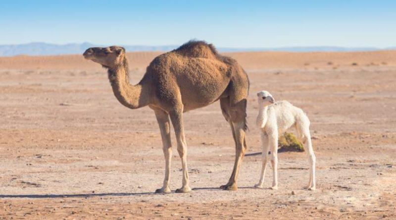 Kamele Tiere Marokko
