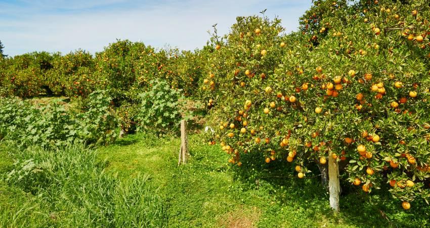 Orangenbäume in Marokko