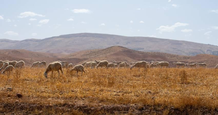 Schaafe in Marokko