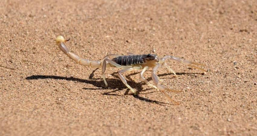 Skorpion Sahara
