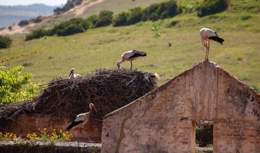 Störche brüten Marokko